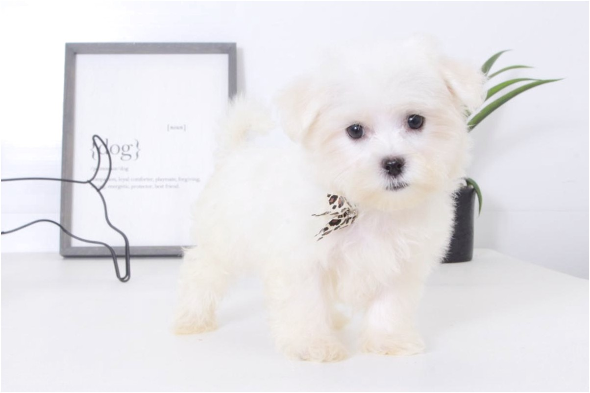 maltese puppies for sale hoobly
