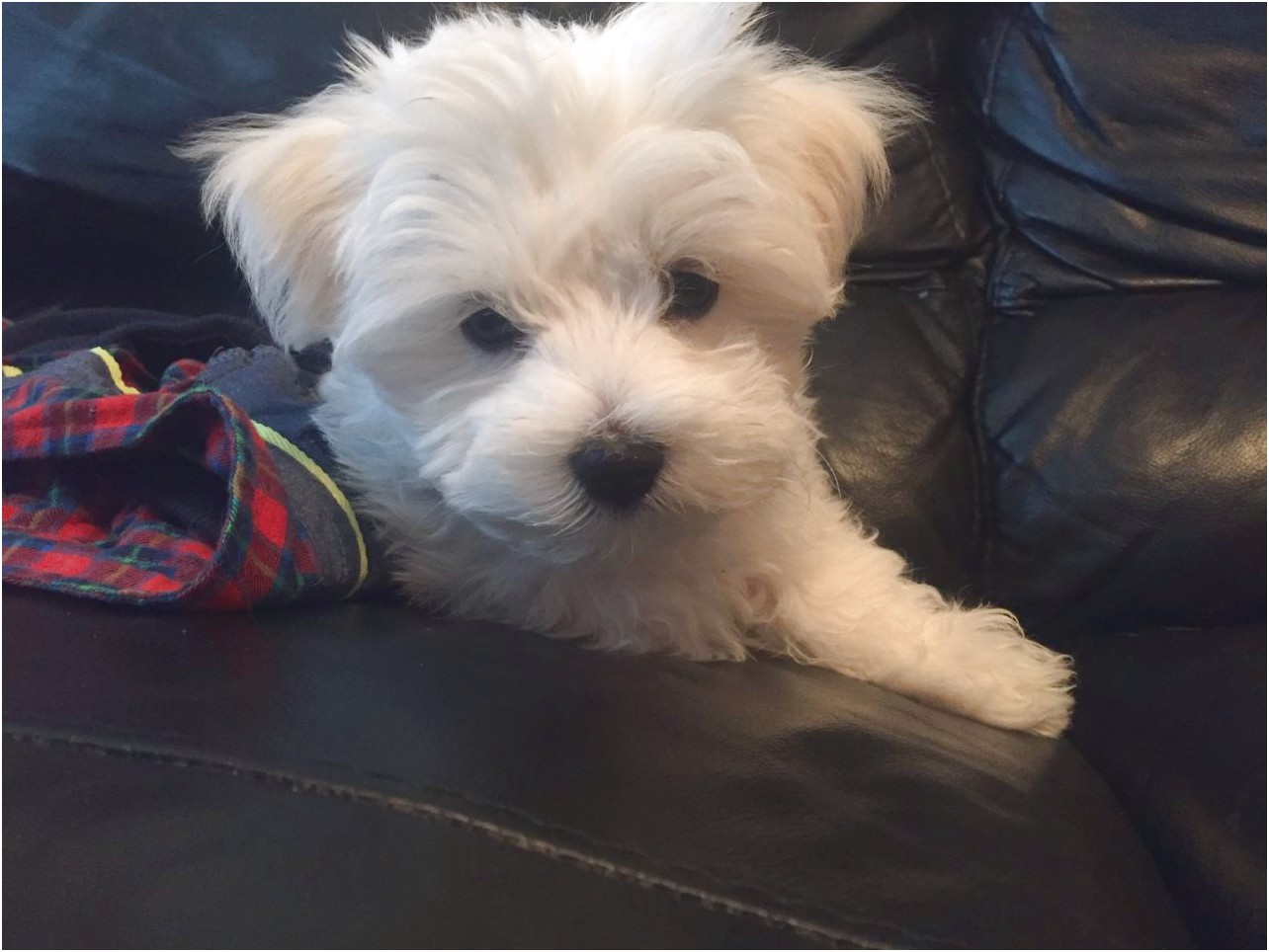 maltese puppies for sale hull