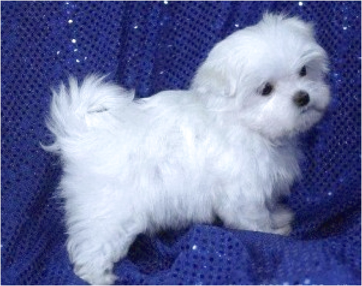 maltese puppies for sale in kansas