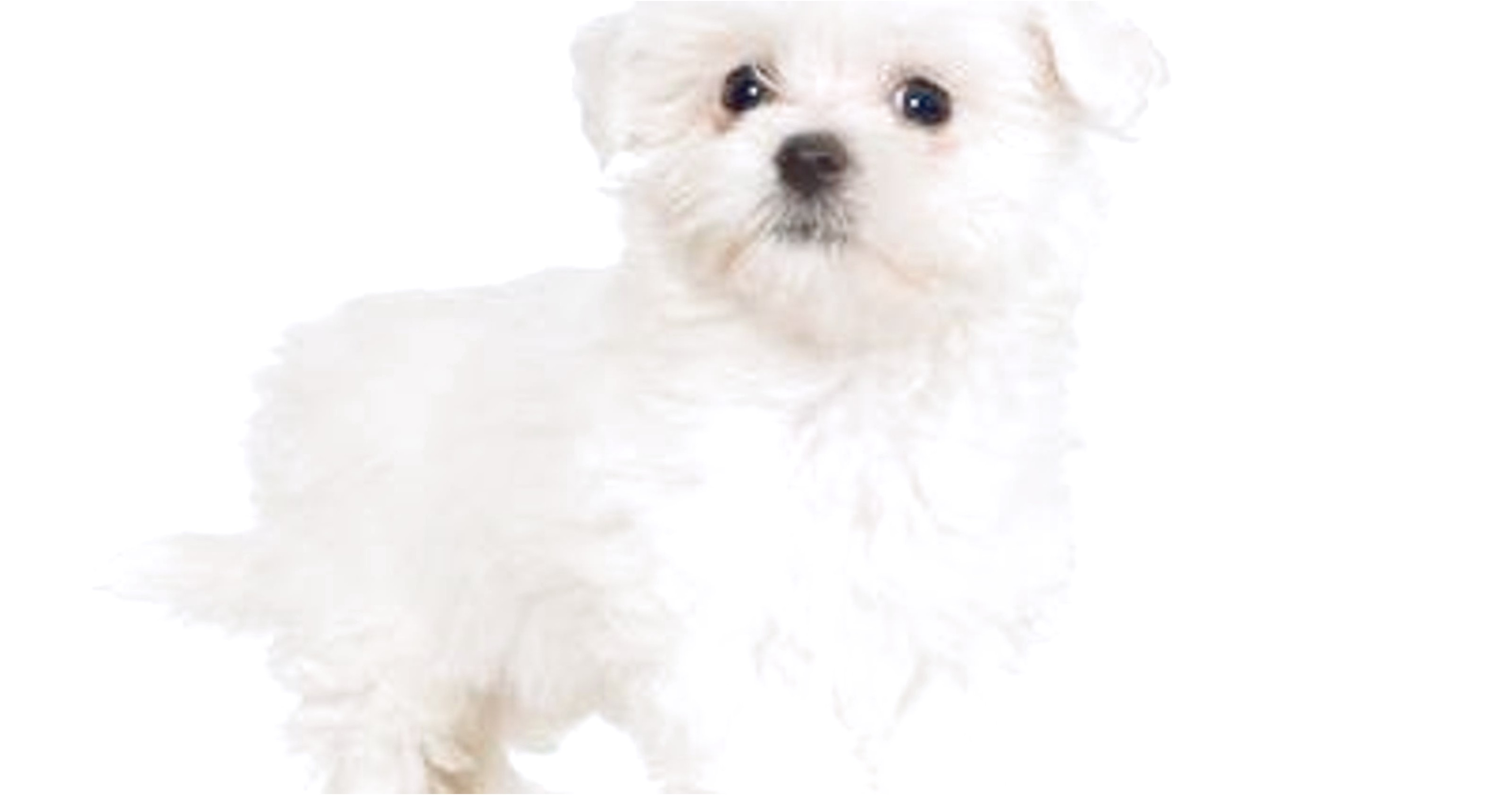 maltese puppies for sale in nj under 400
