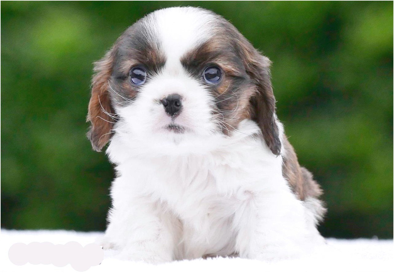 maltese puppies for sale in usa