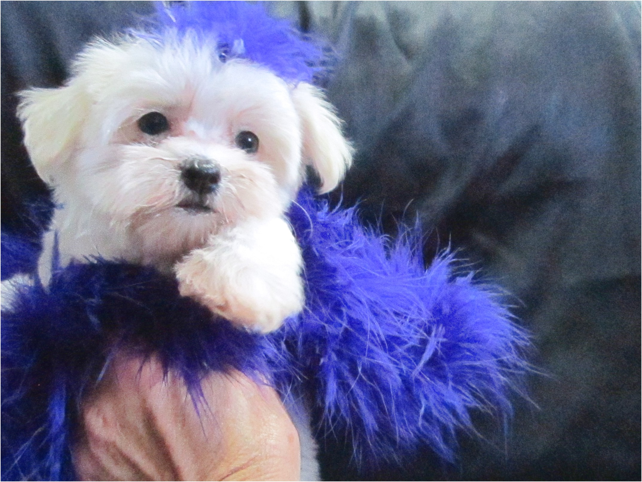 maltese puppies for sale jackson ms