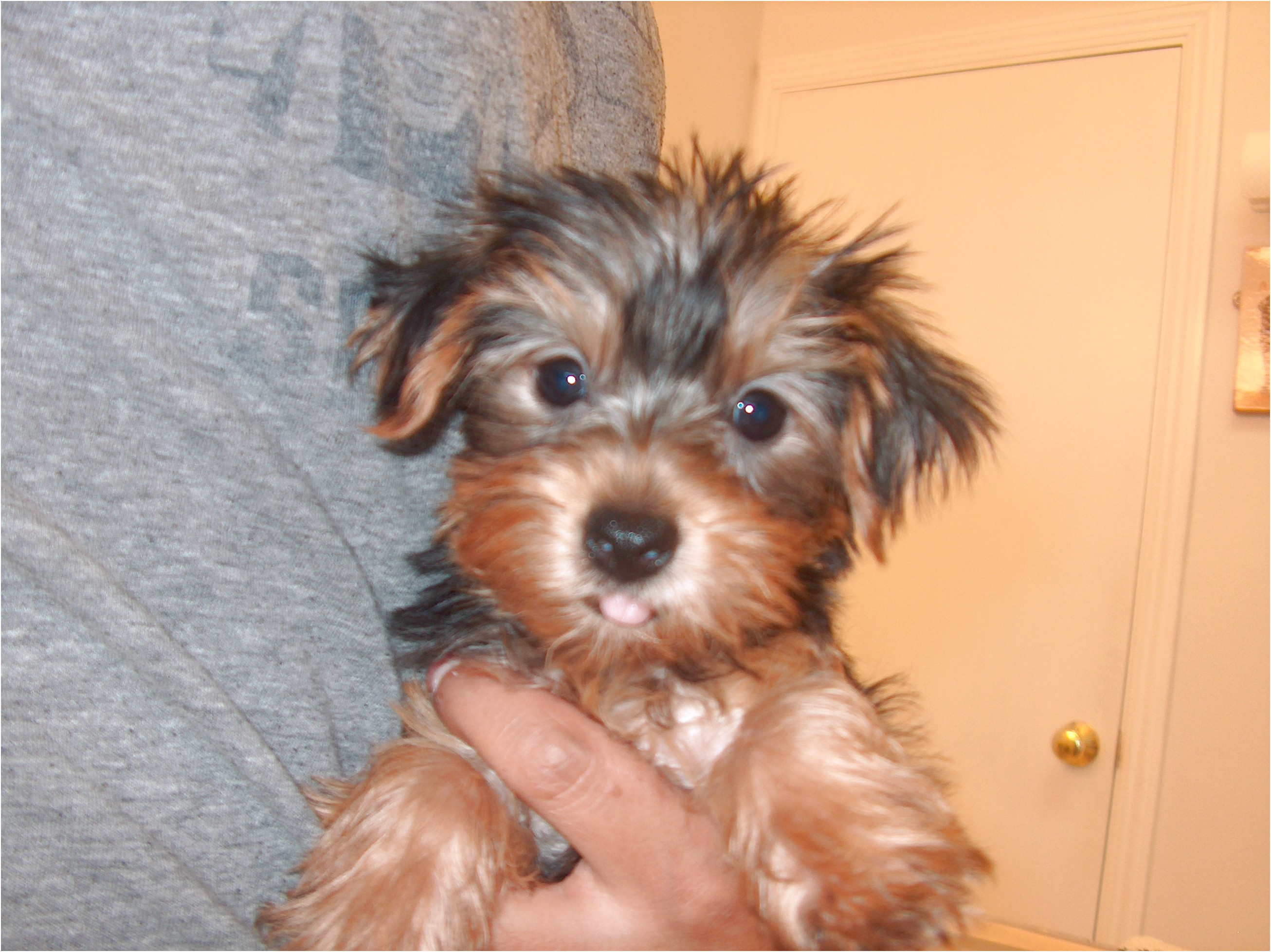 maltese puppies for sale jacksonville nc