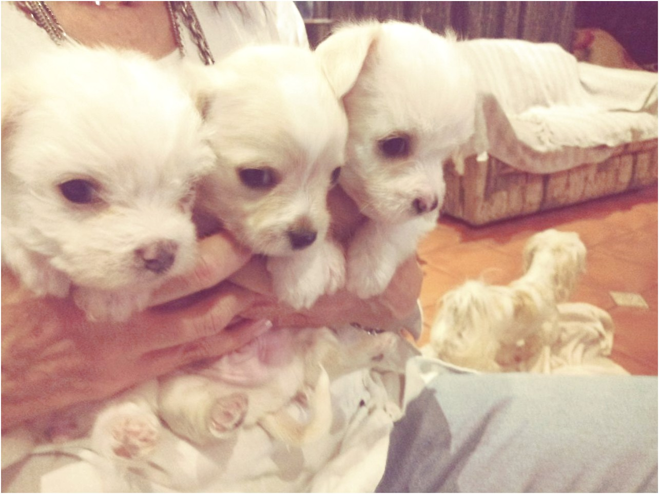 maltese puppies for sale johannesburg