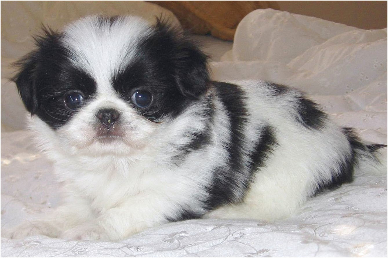 maltese puppies for sale johnson city tn