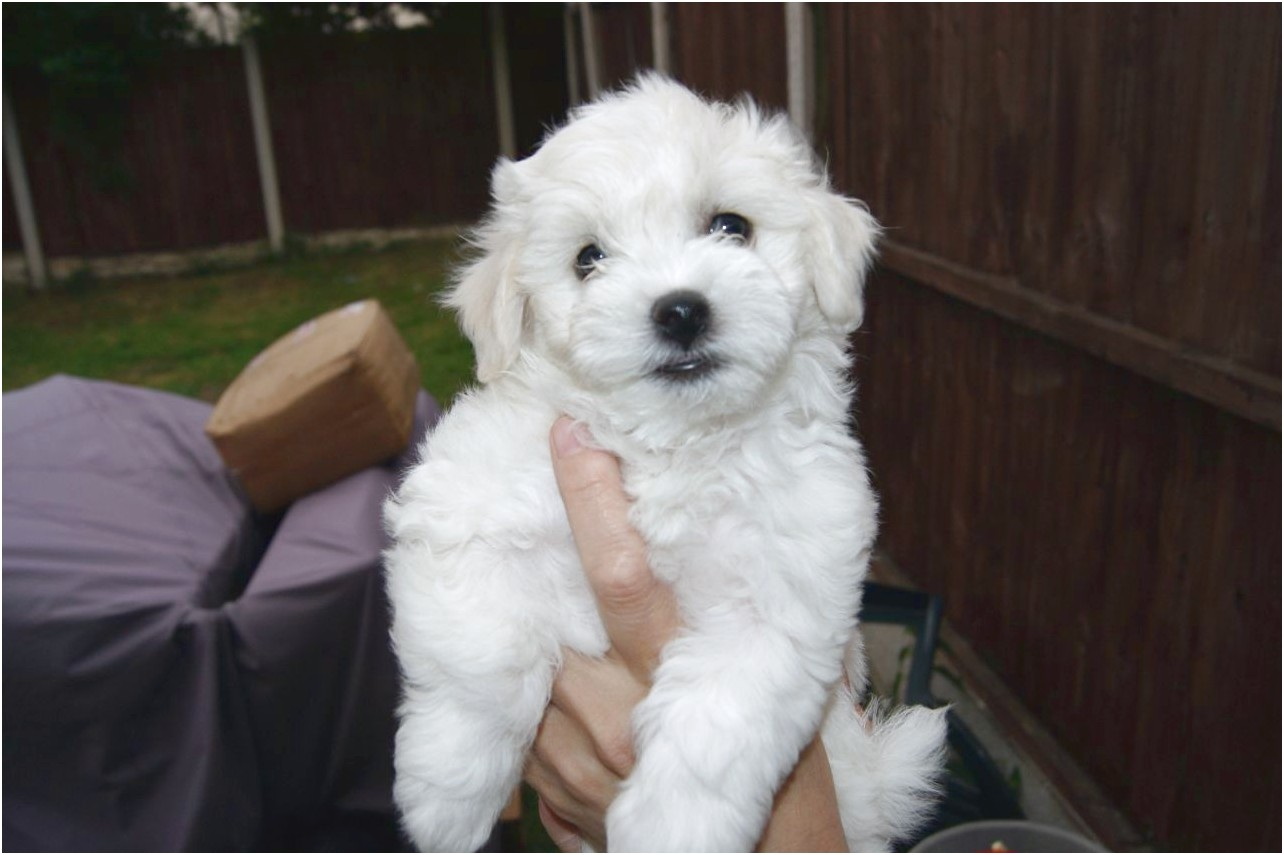 maltese puppies for sale joliet il