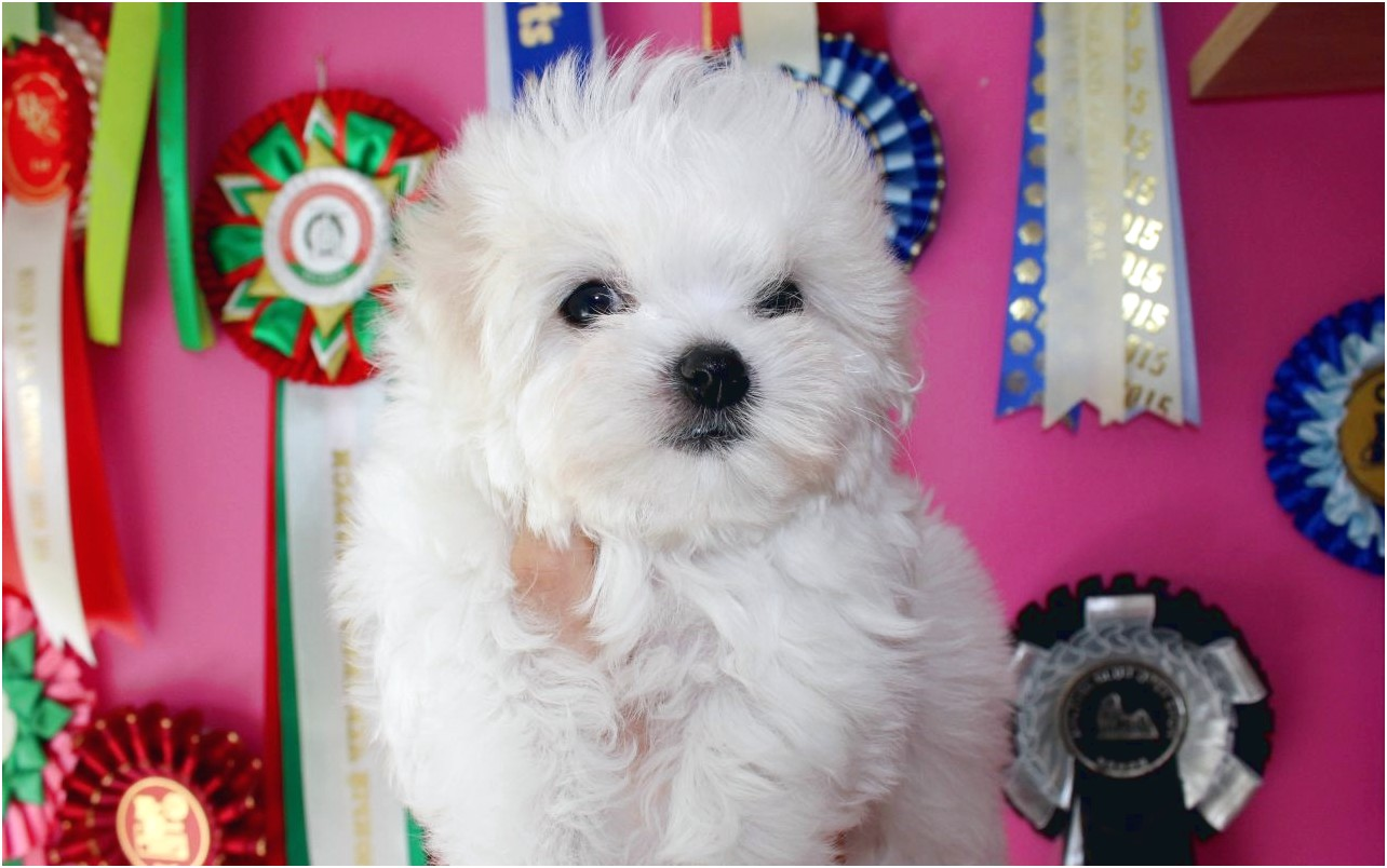 maltese puppies for sale kennel club