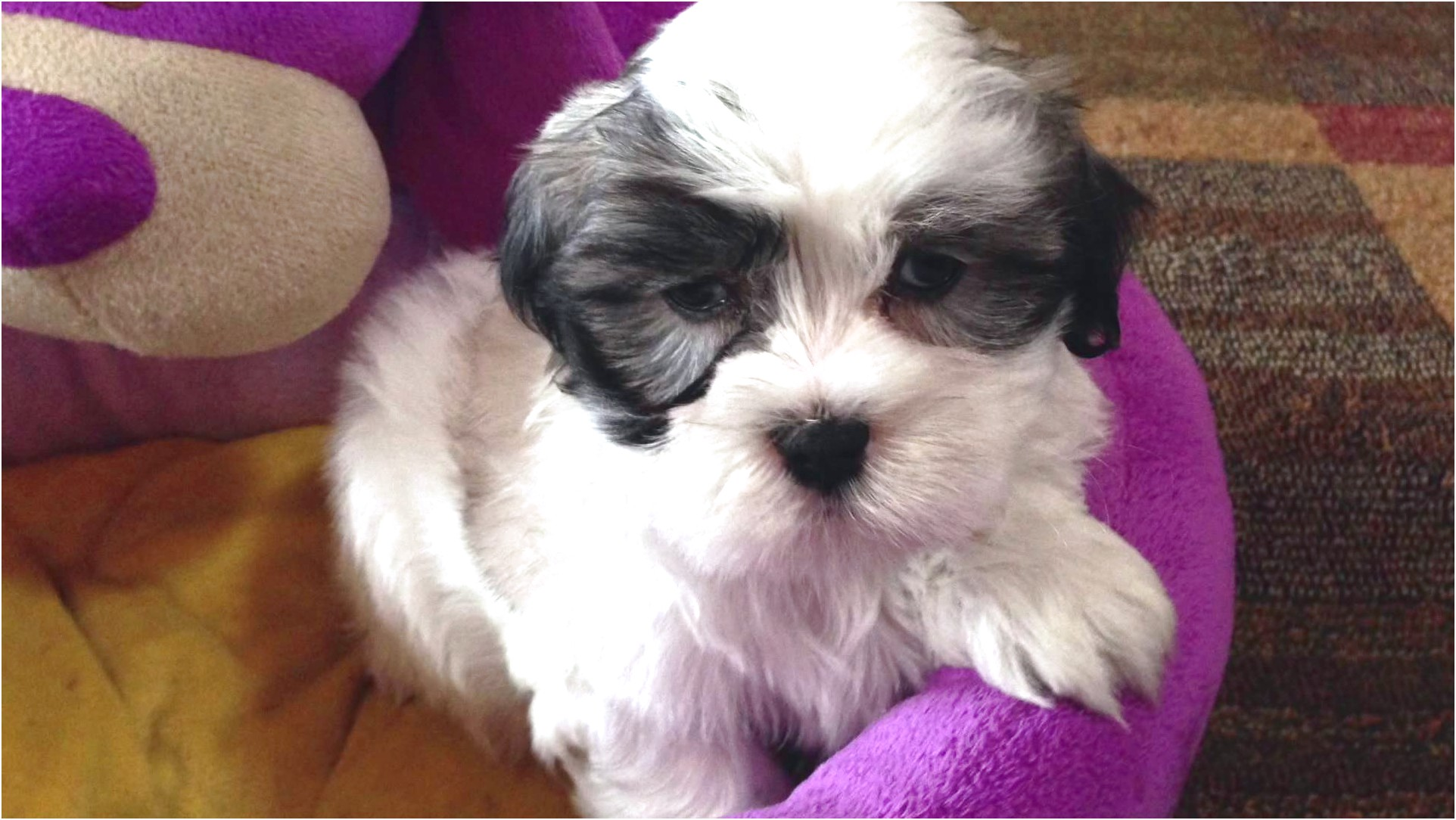 maltese puppies for sale kent