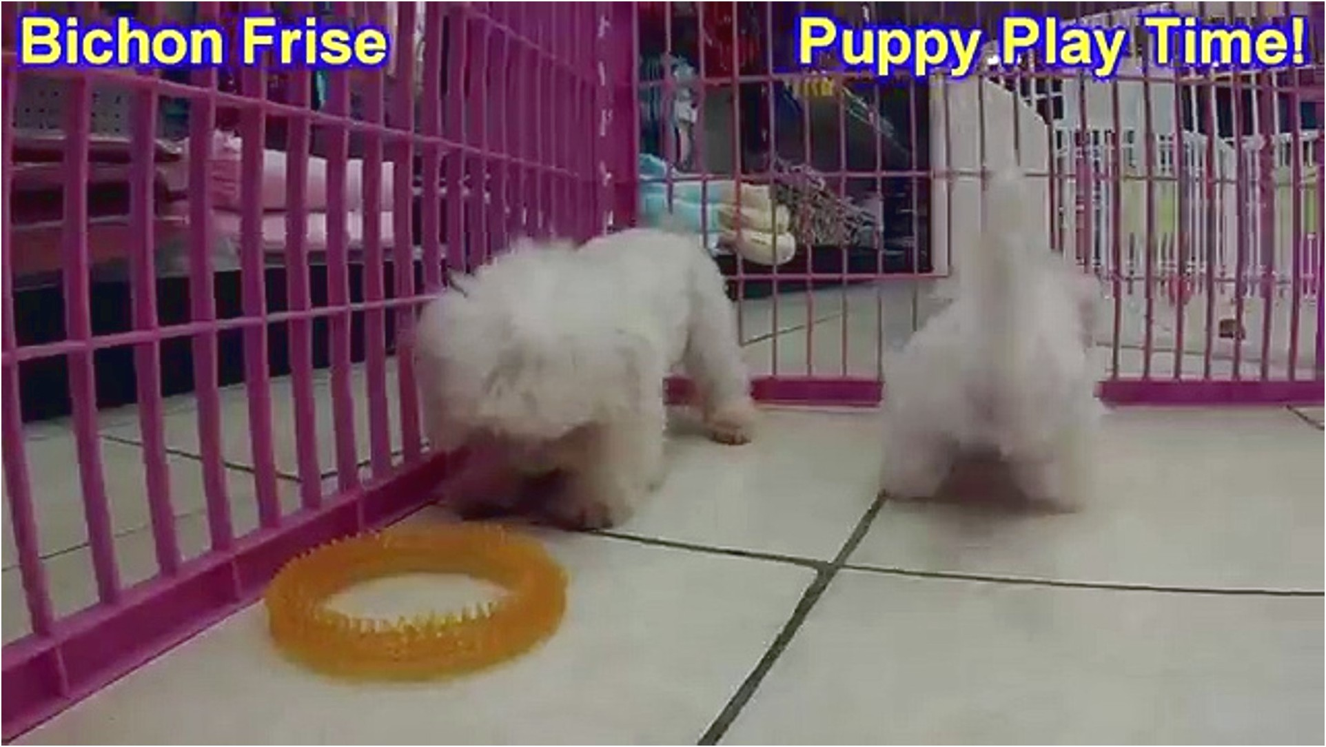 maltese puppies for sale knoxville tn