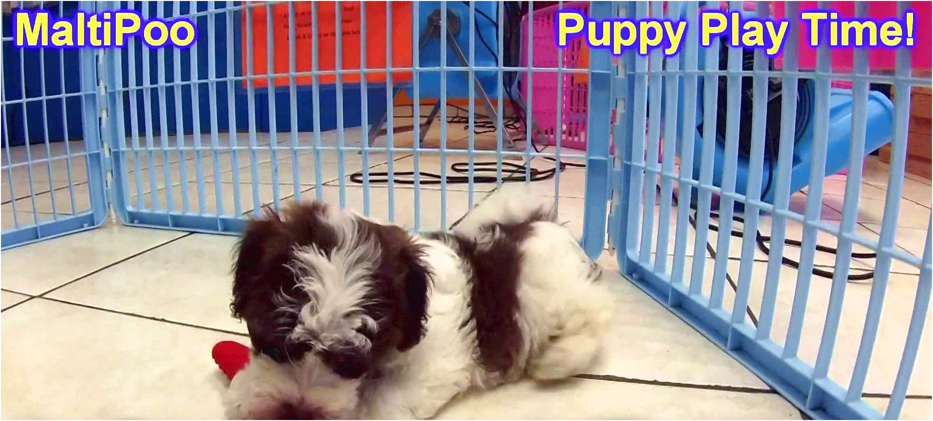 maltese puppies for sale lincoln ne