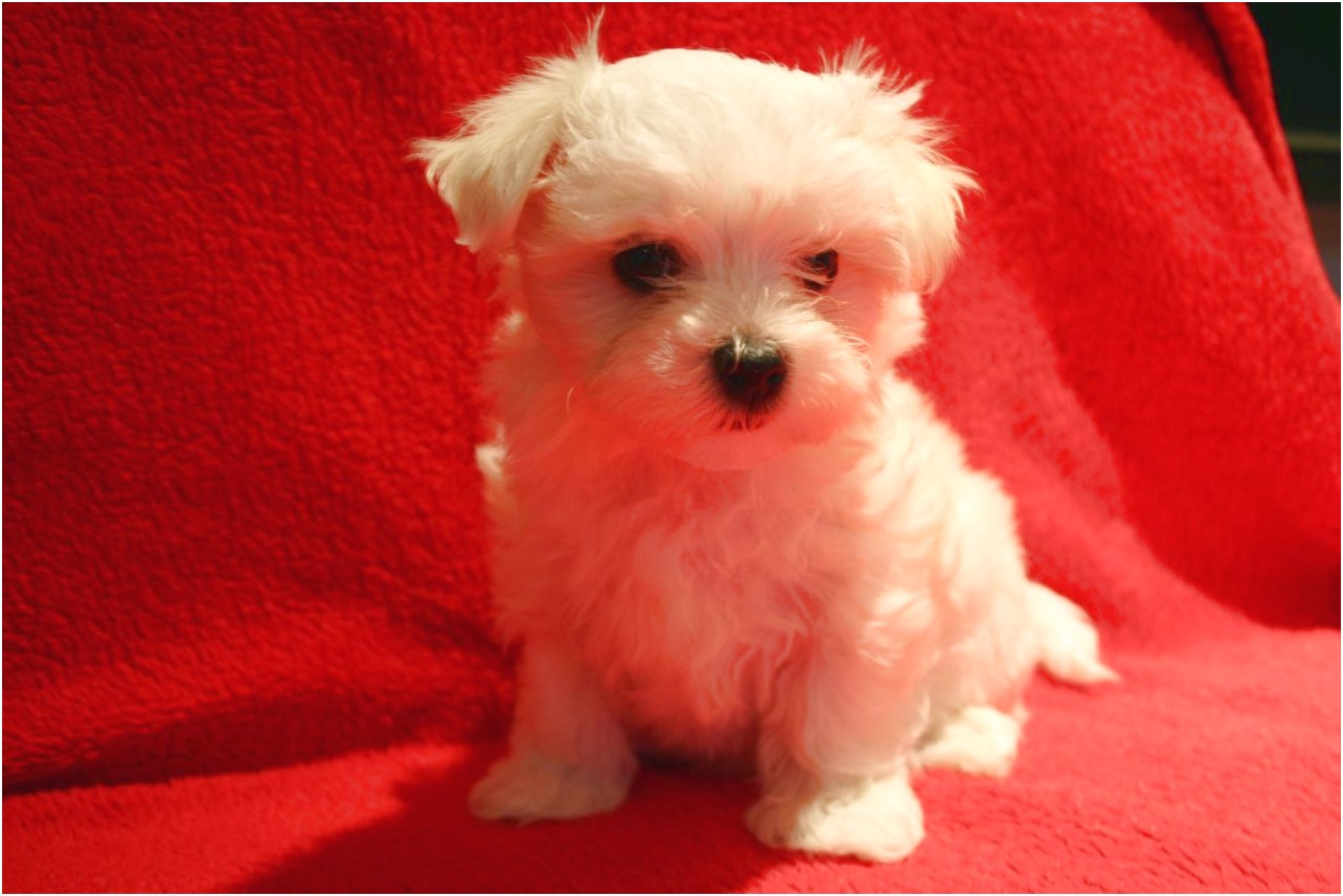 maltese puppies for sale london