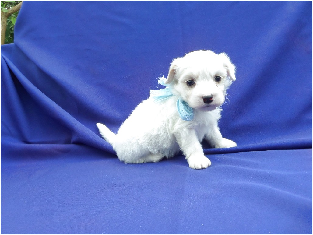 maltese puppies for sale los angeles