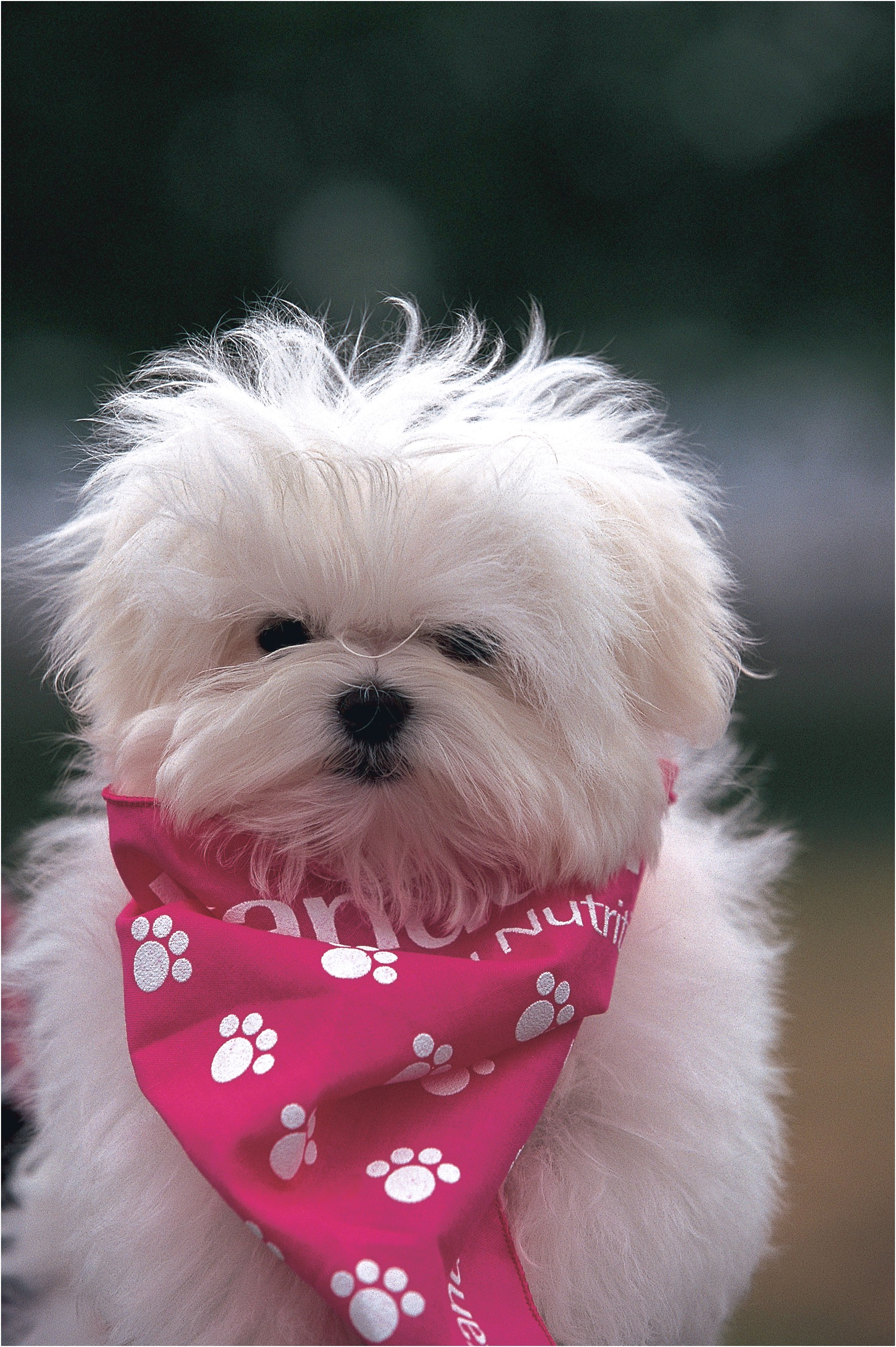 maltese puppies for sale md