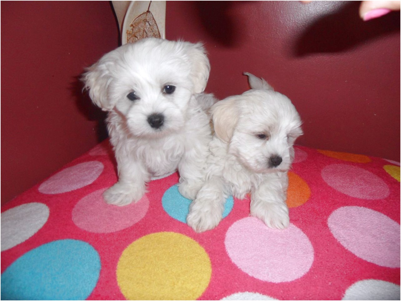 maltese puppies for sale mn