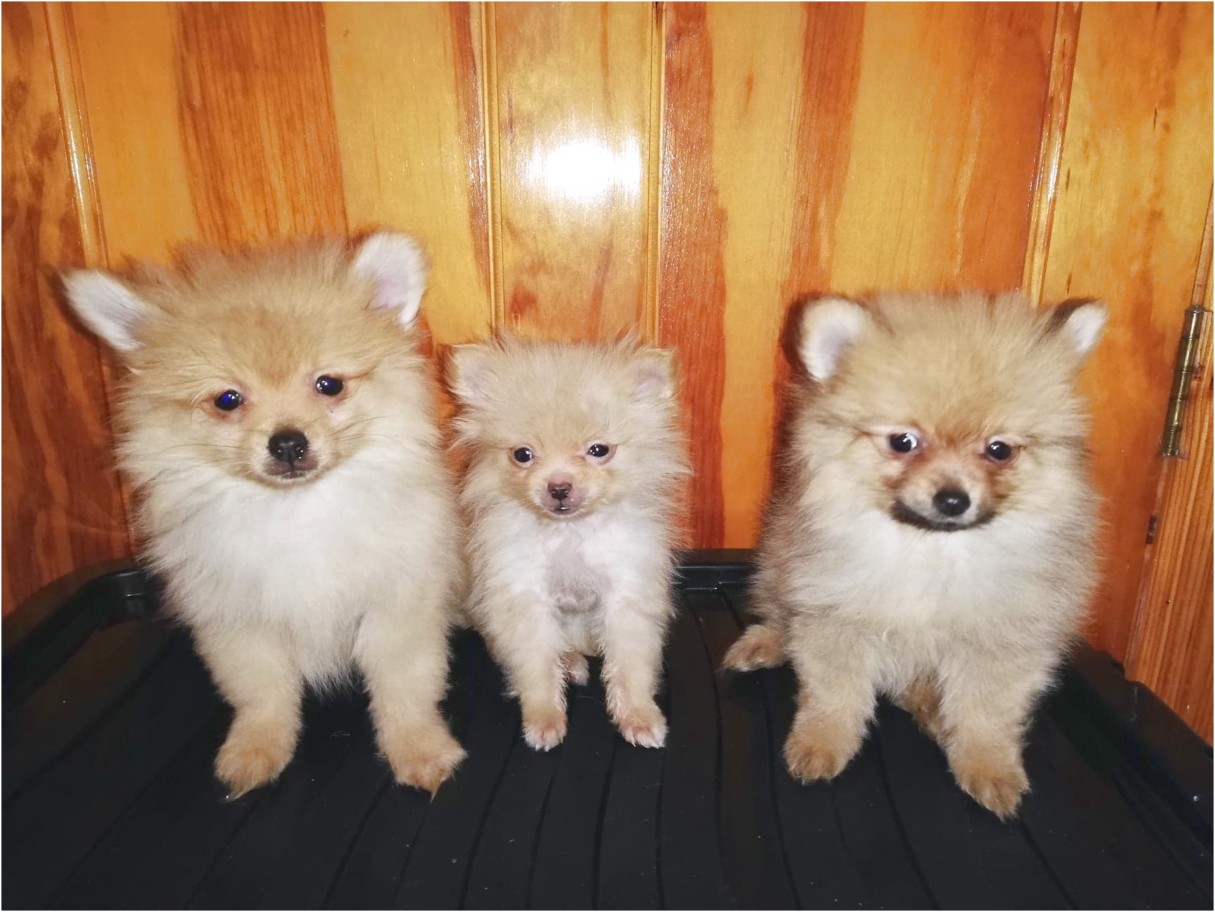 maltese puppies for sale n ireland