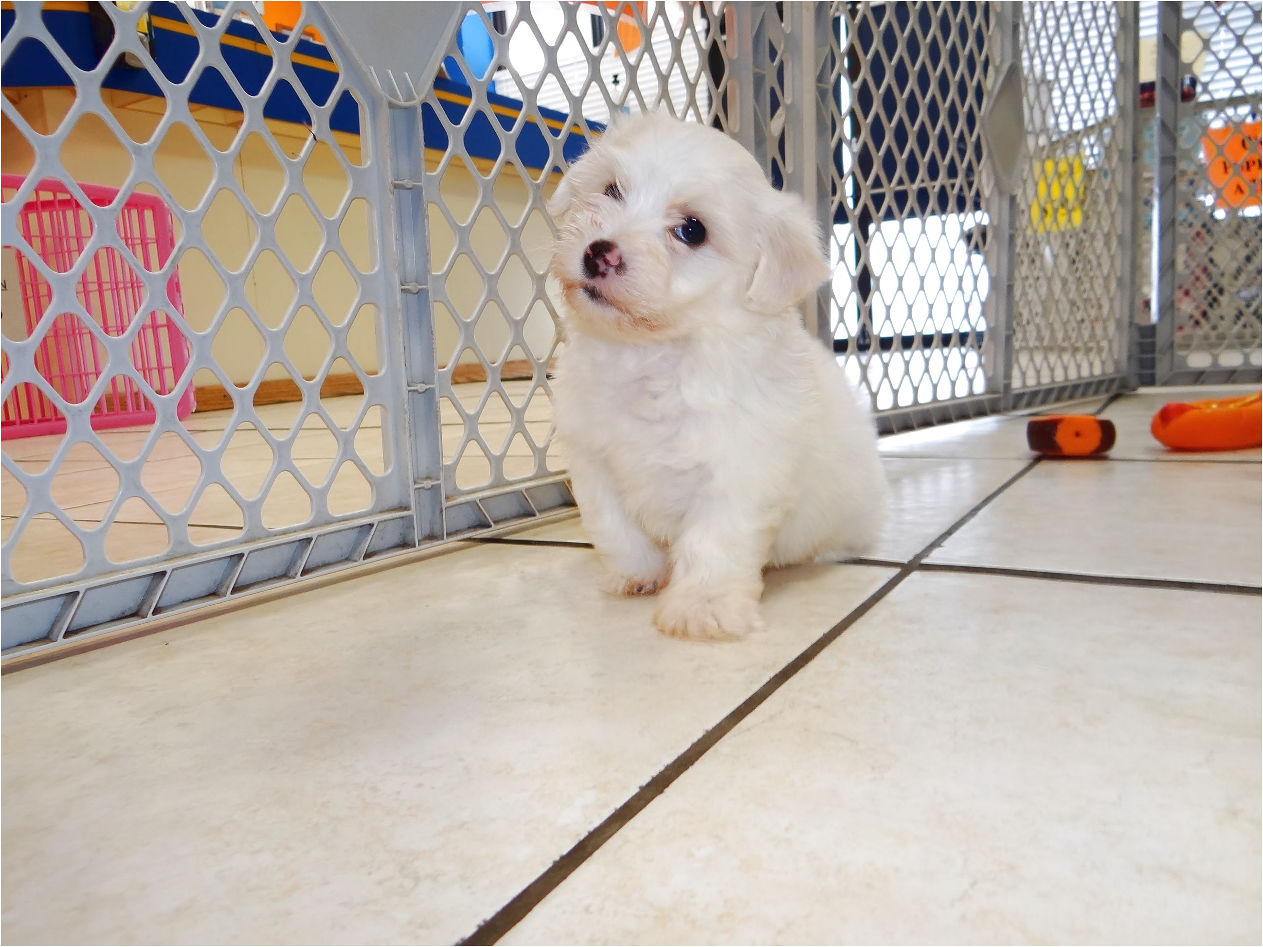 maltese puppies for sale nc