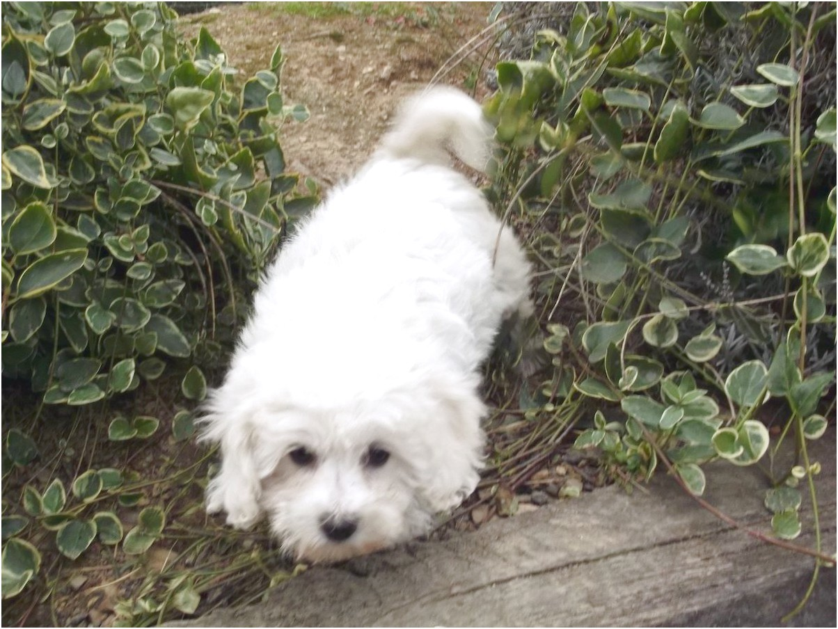 maltese puppies for sale newcastle