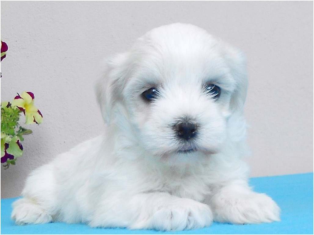 maltese puppies for sale northern ireland
