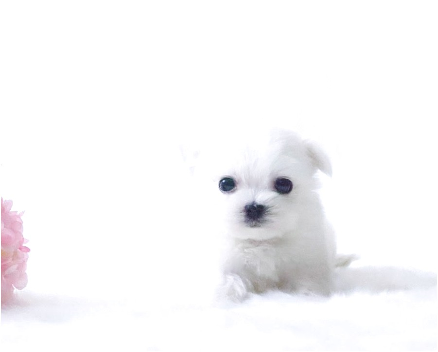 maltese puppies for sale ny