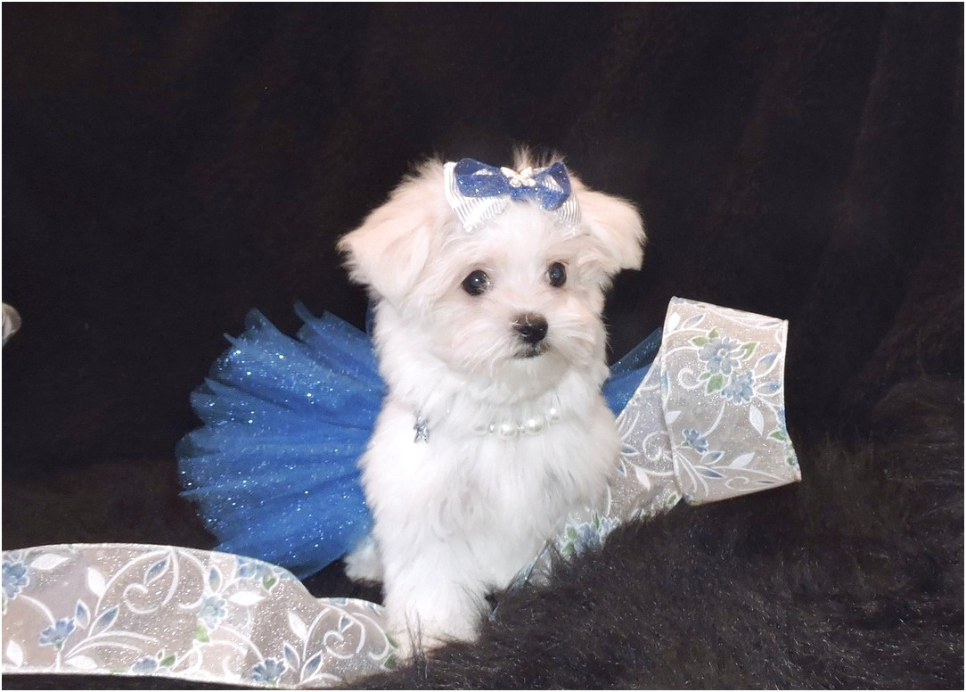 maltese puppies for sale oklahoma