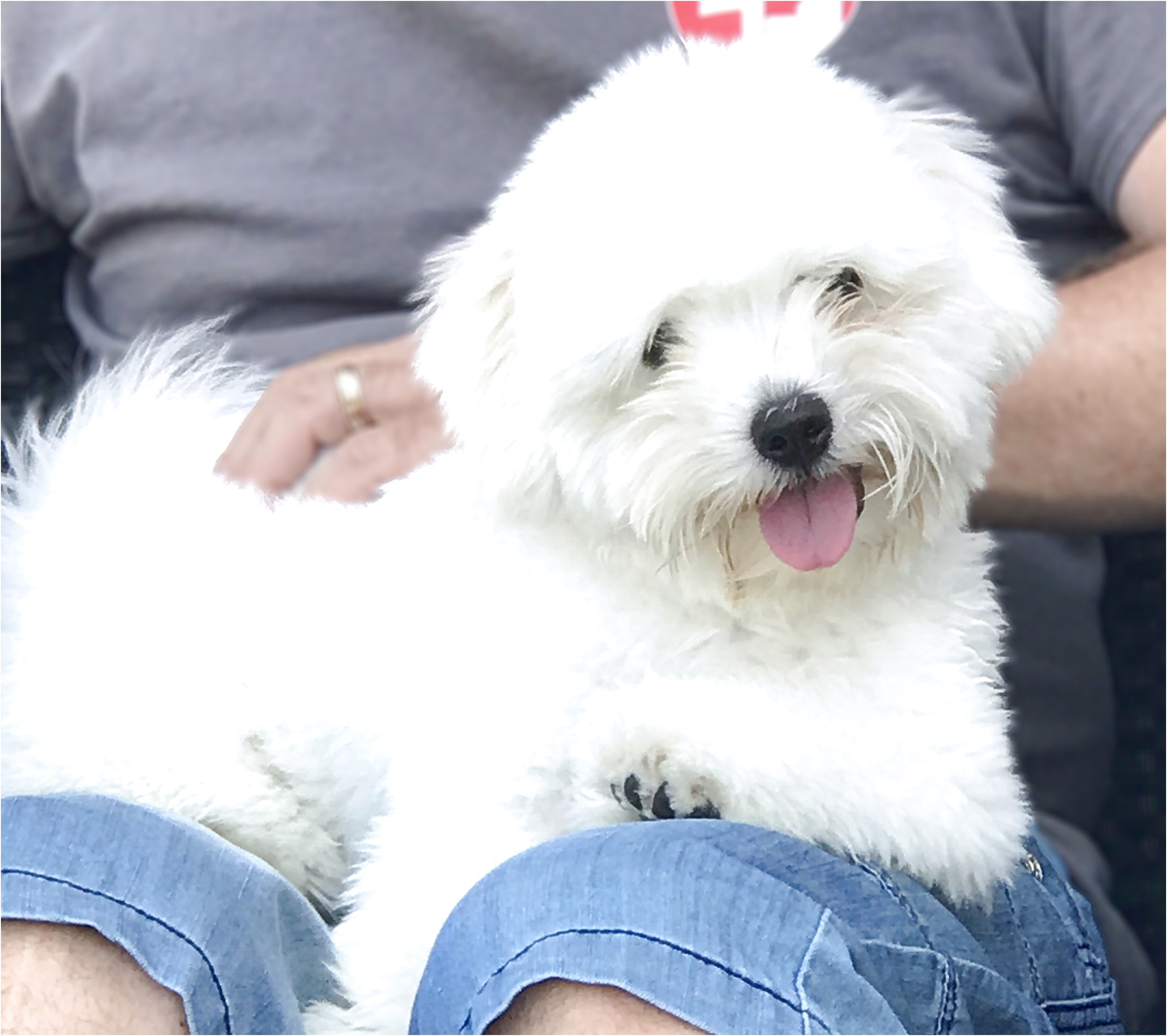 maltese puppies for sale ontario