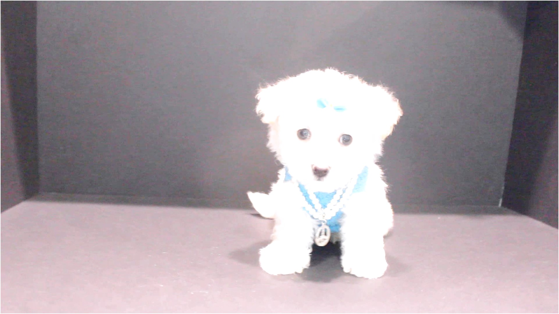 maltese puppies for sale orange county