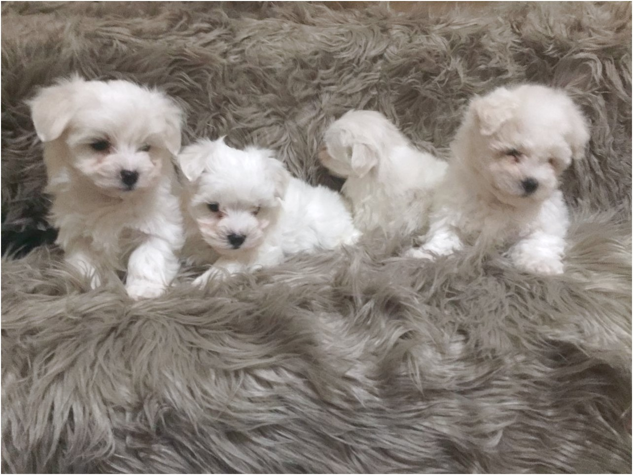 maltese puppies for sale panama city fl