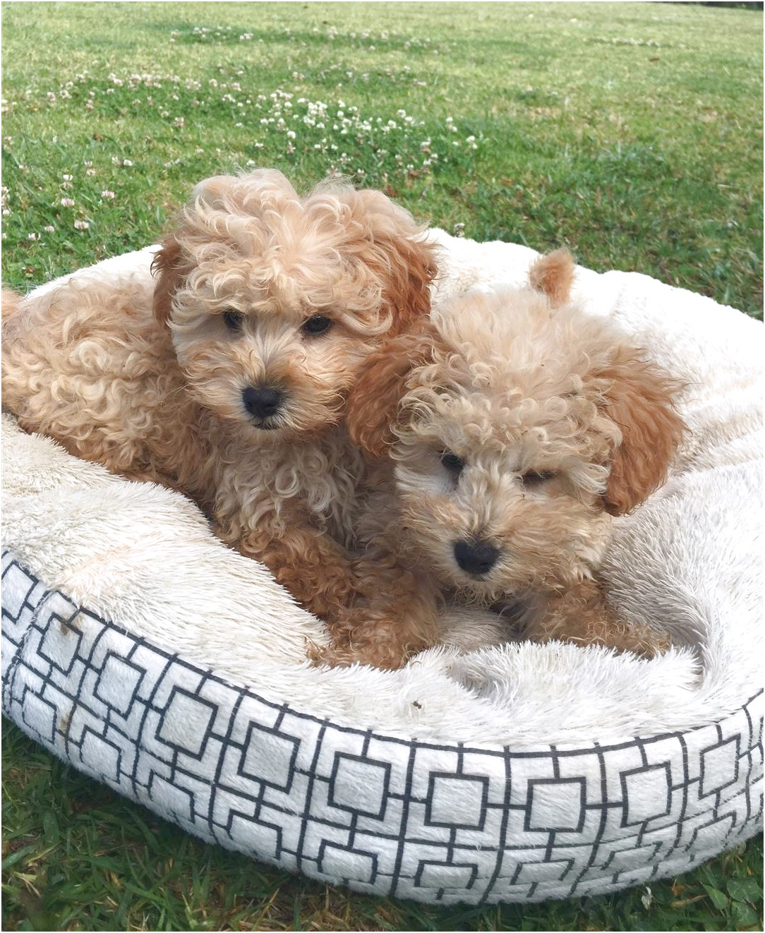 maltese puppies for sale port macquarie