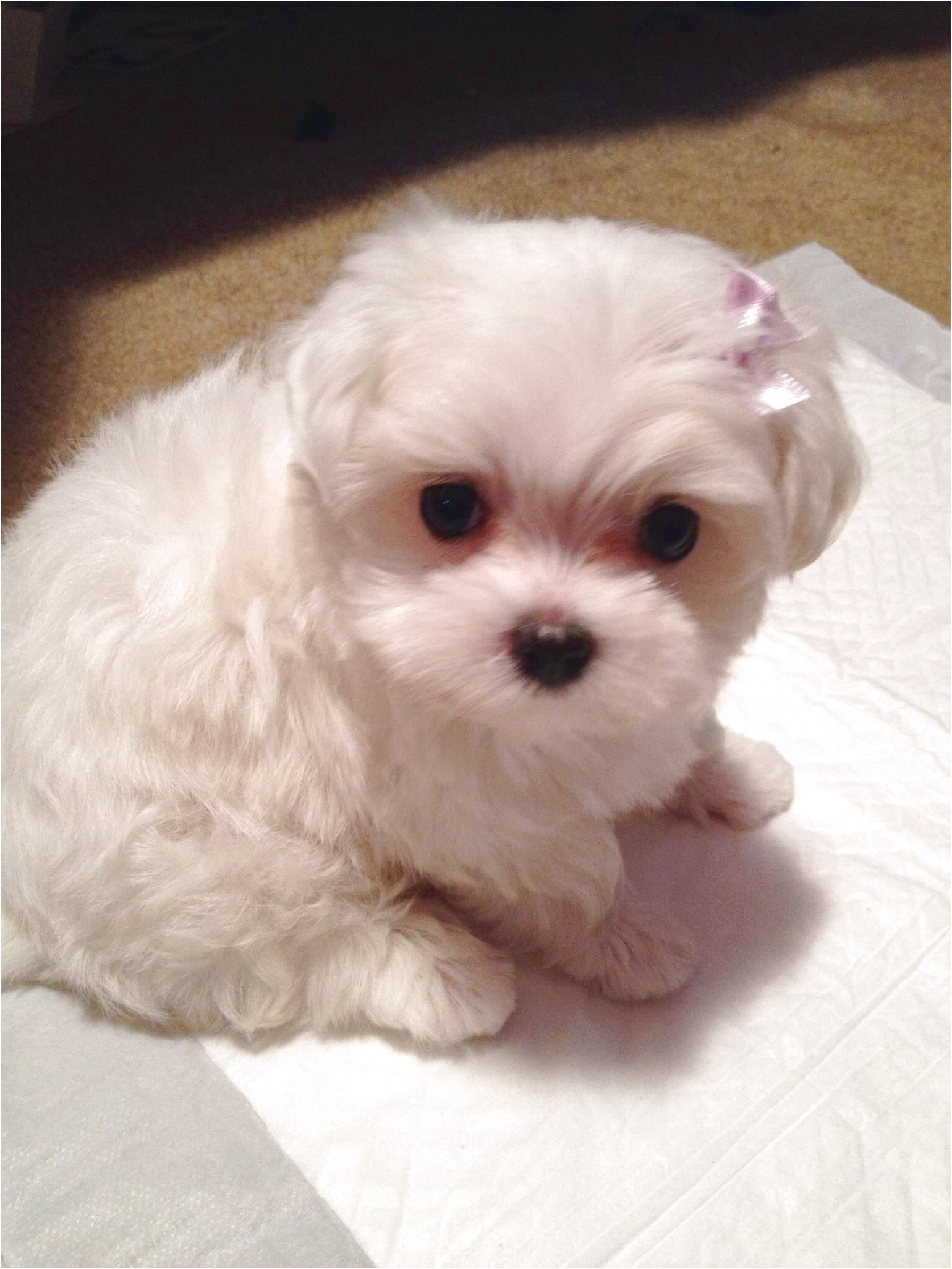 Maltese Puppies For Sale Portland Oregon
