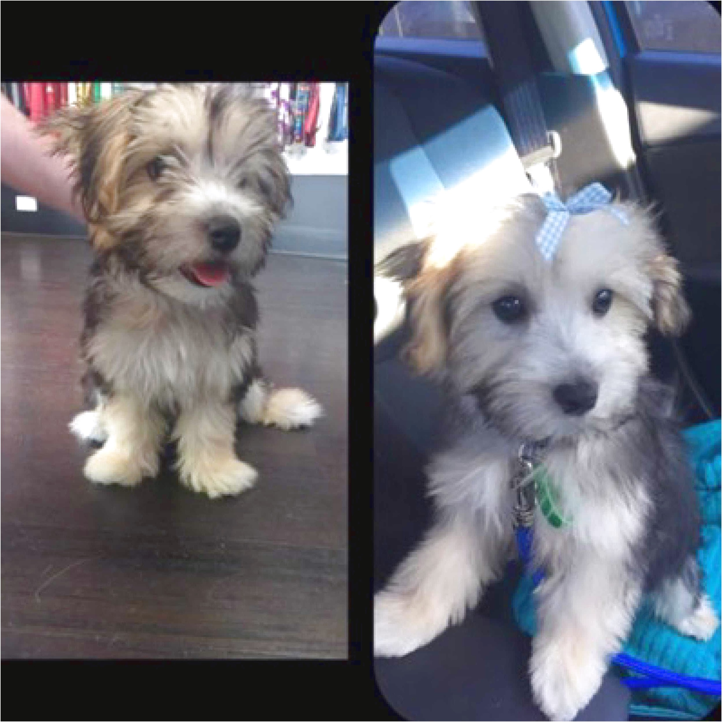 maltese puppies for sale qld brisbane