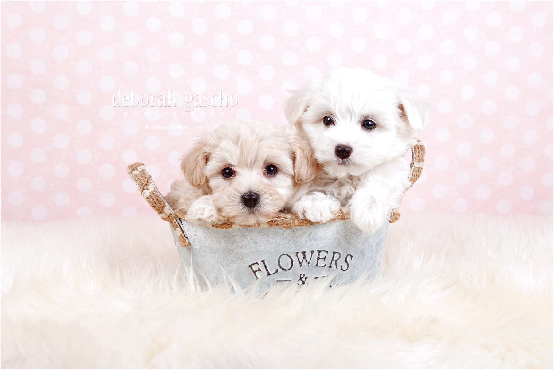 maltese puppies for sale quebec