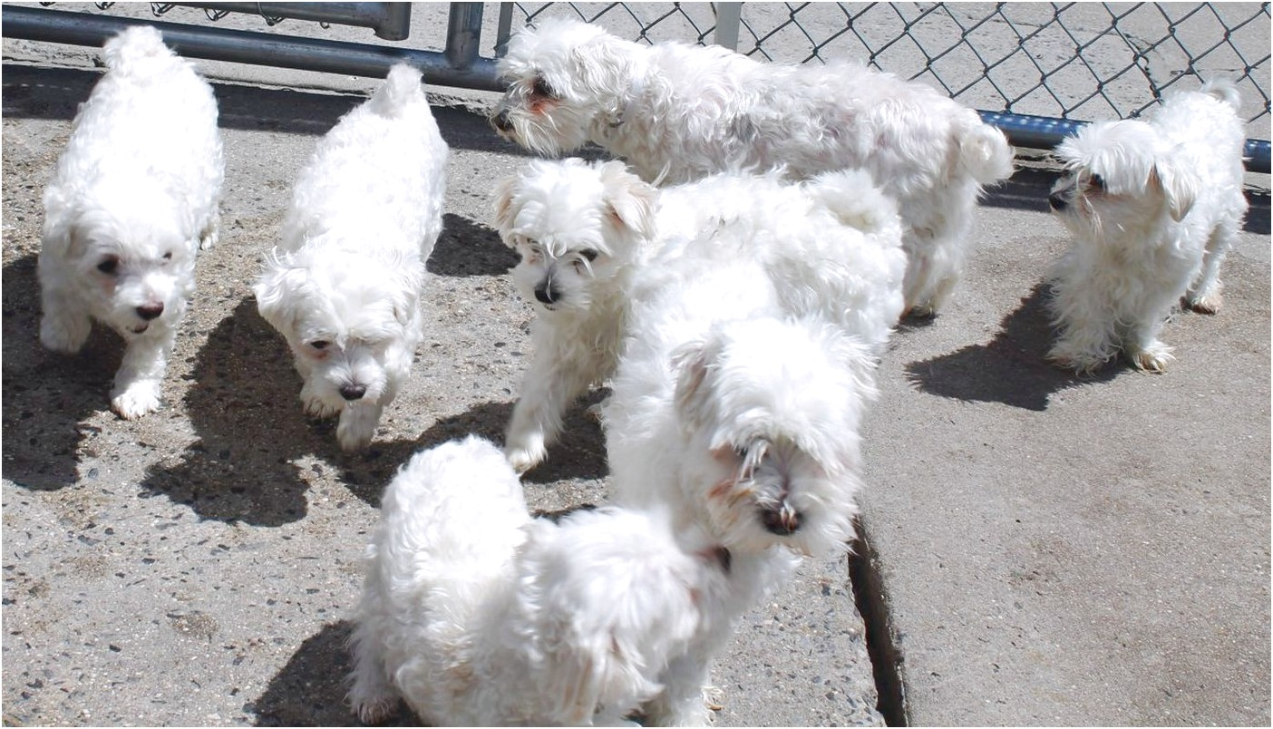maltese puppies for sale queens ny