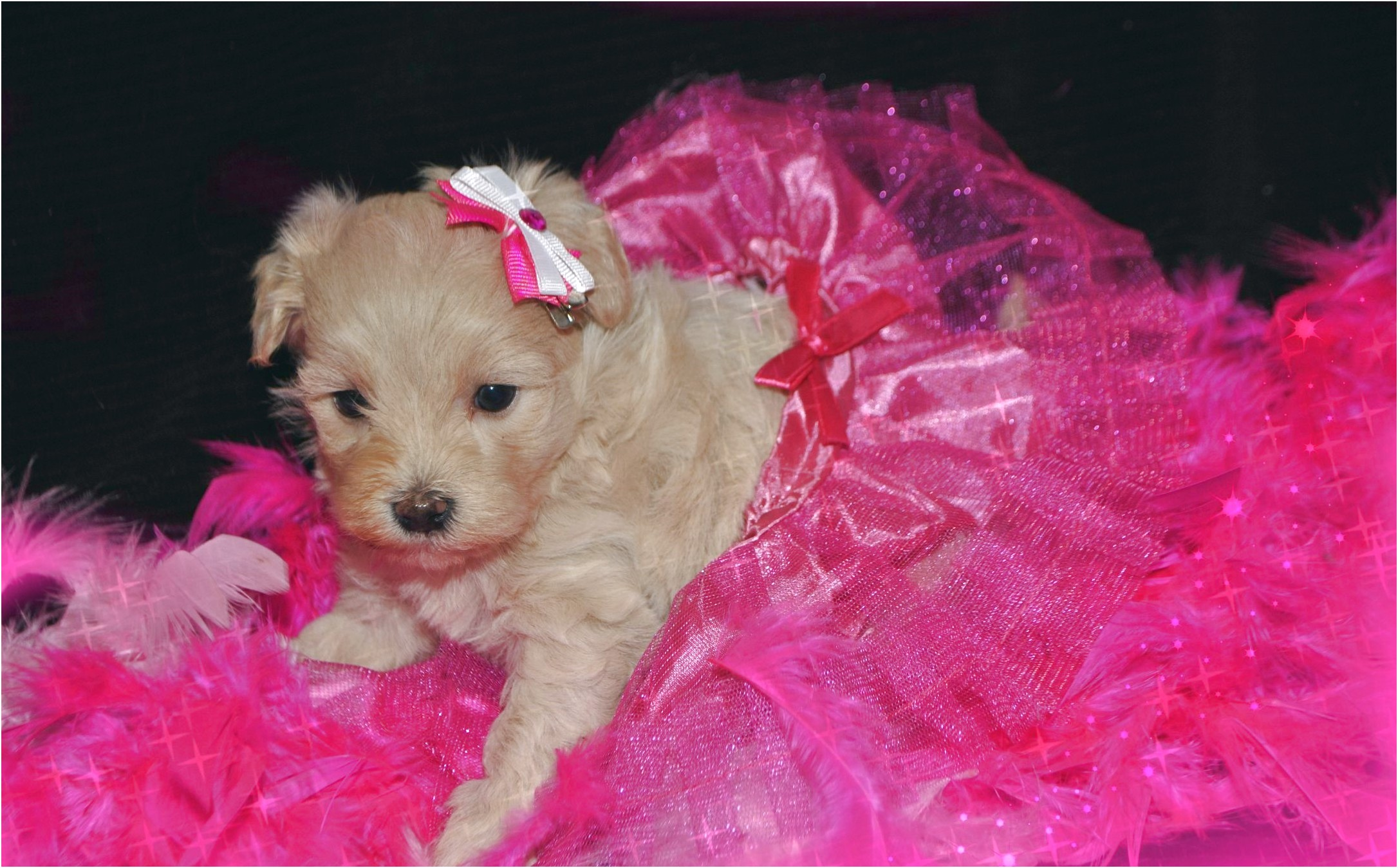 maltese puppies for sale raleigh nc