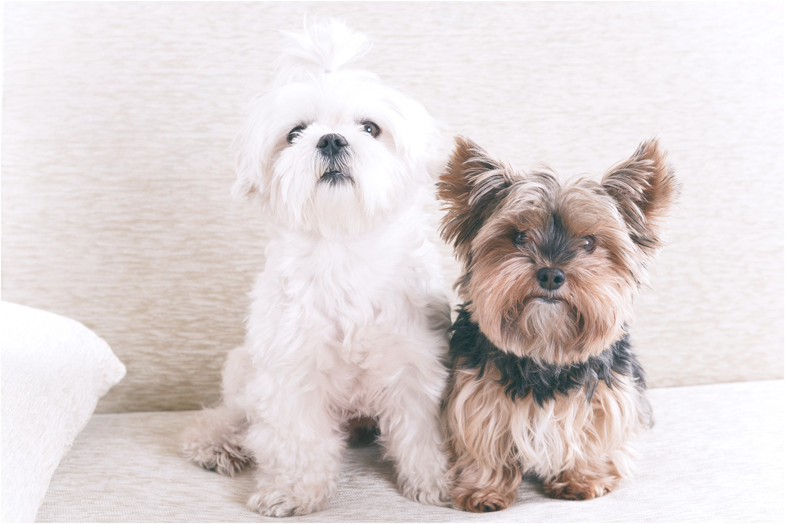 maltese puppies for sale st louis