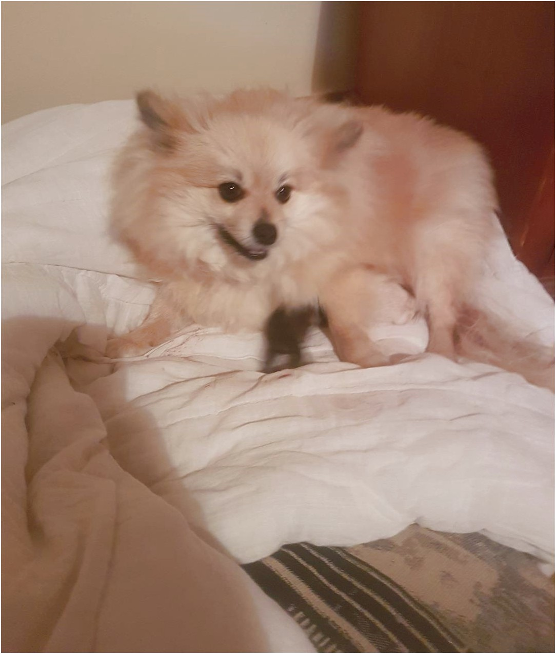maltese puppies for sale sydney