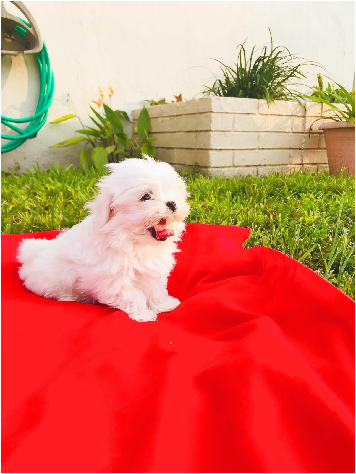 maltese puppies for sale tallahassee