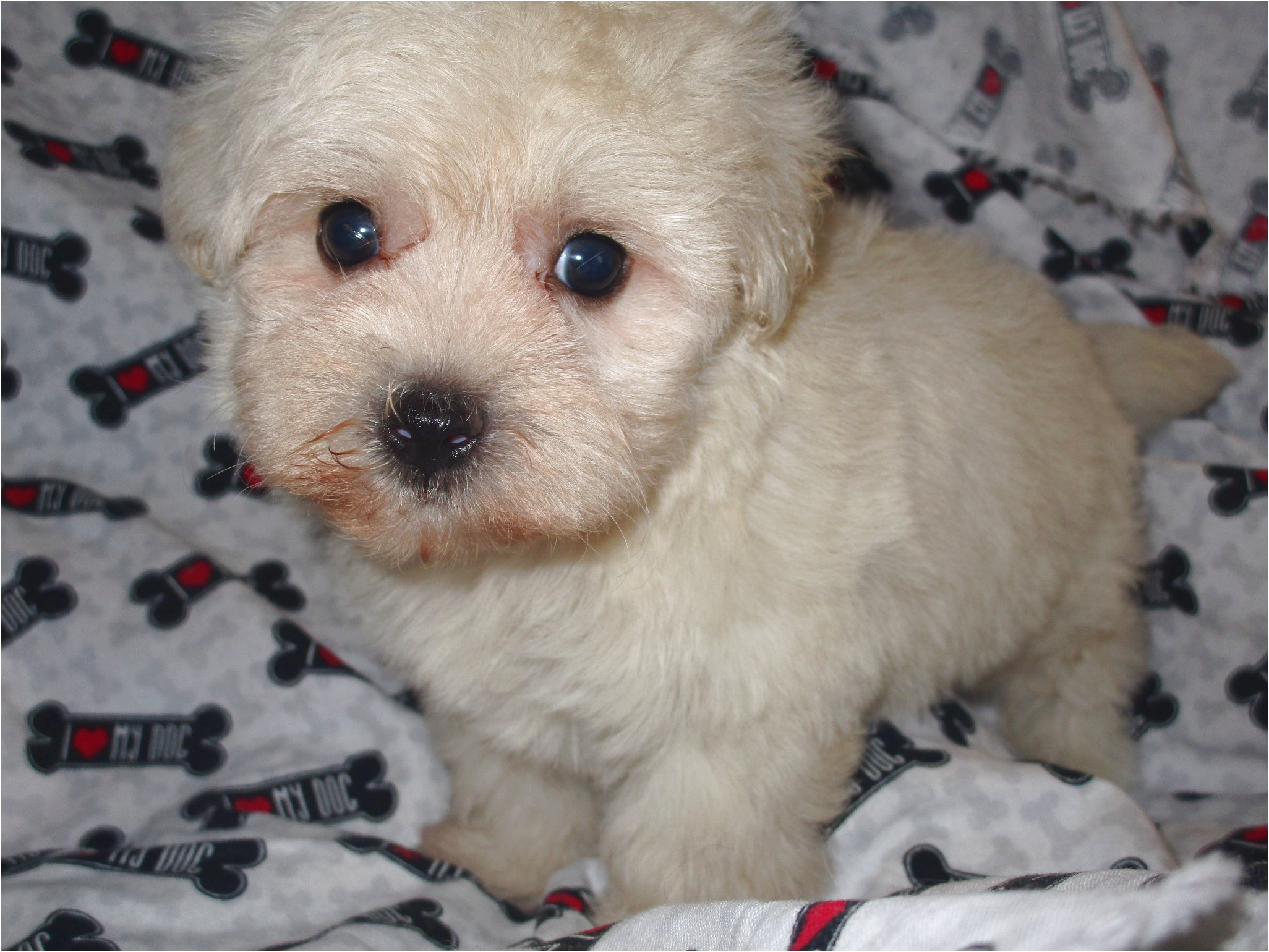 maltese puppies for sale tn