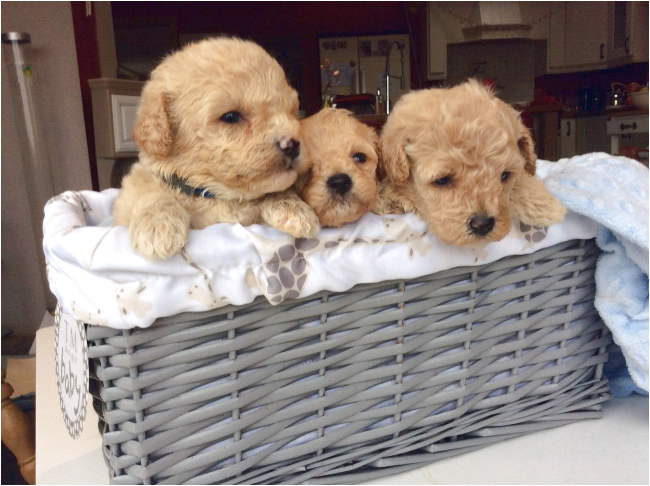 maltese puppies for sale townsville