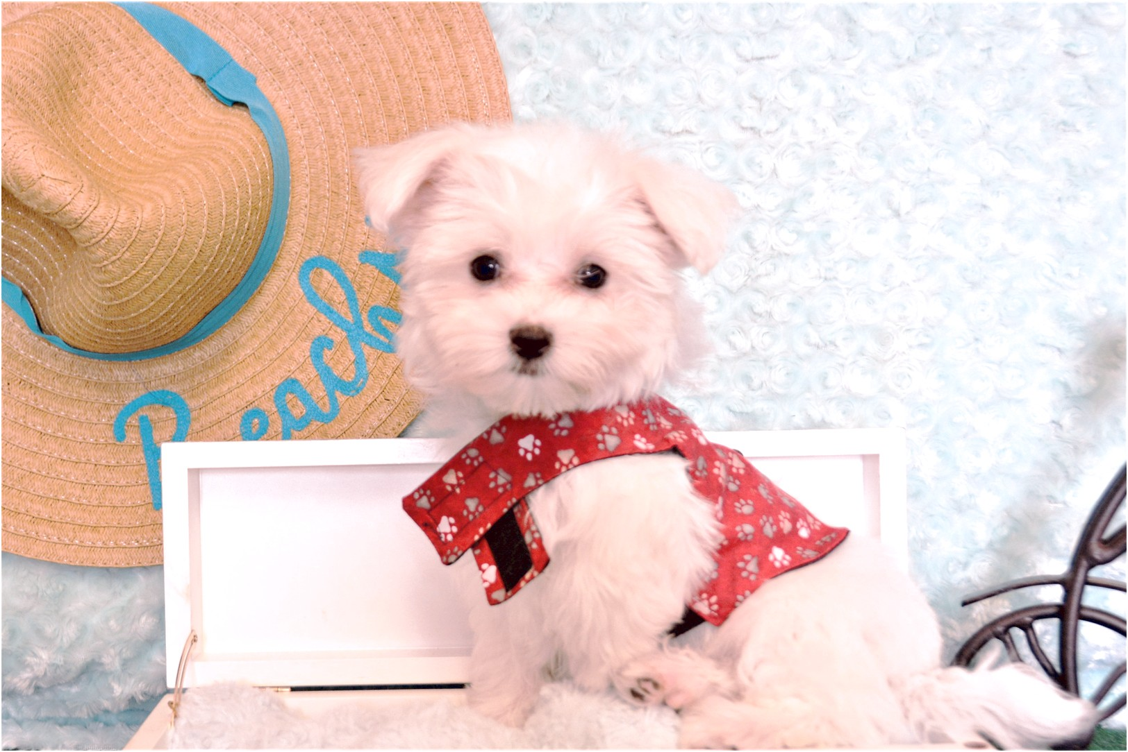 maltese puppies for sale tx