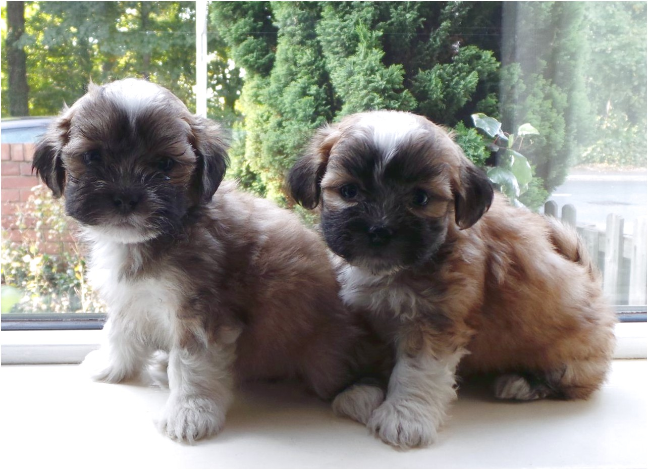 maltese puppies for sale uk cheap
