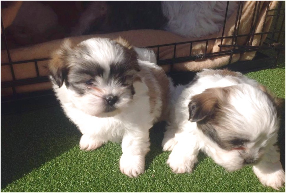 maltese puppies for sale uk