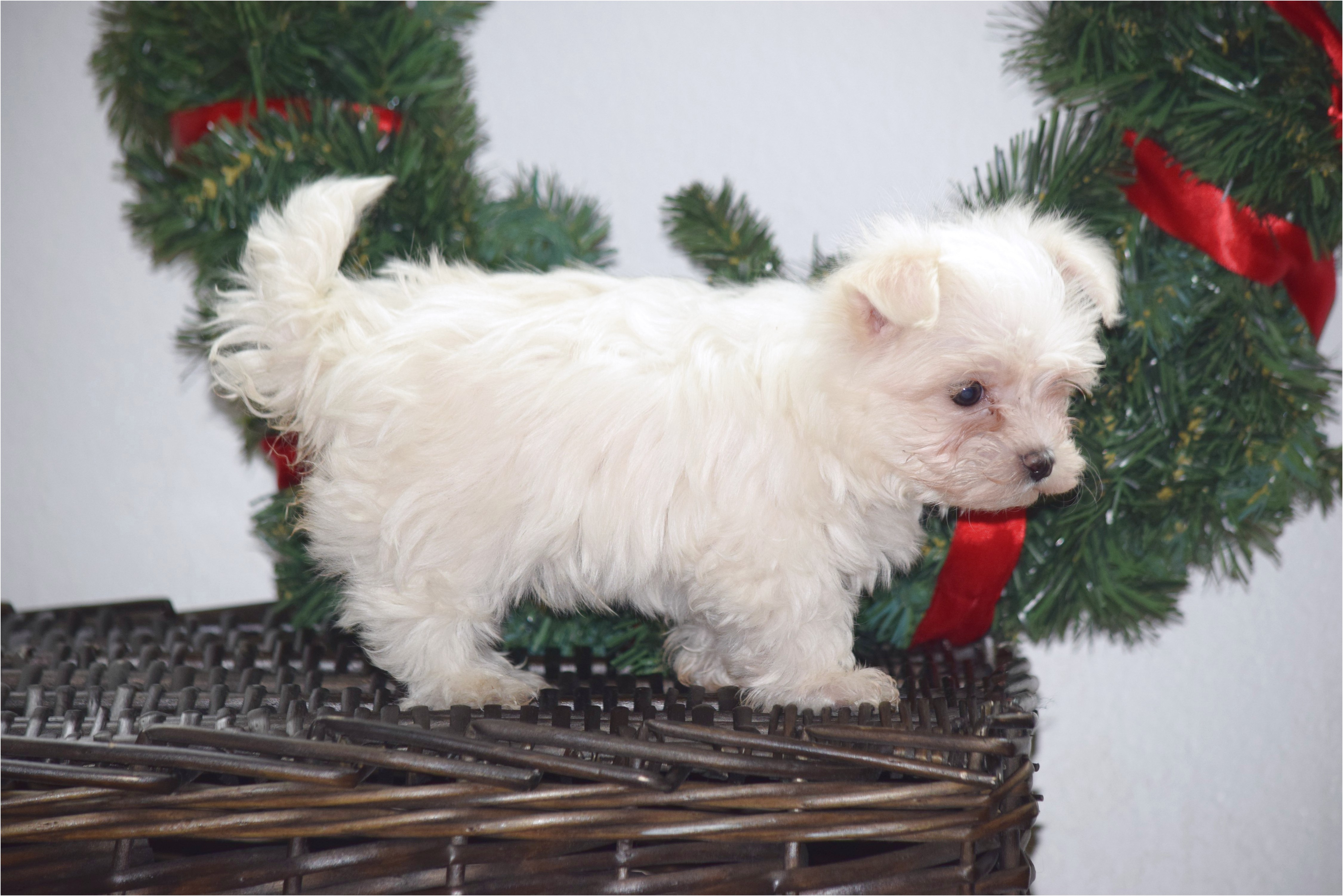 maltese puppies for sale under 300
