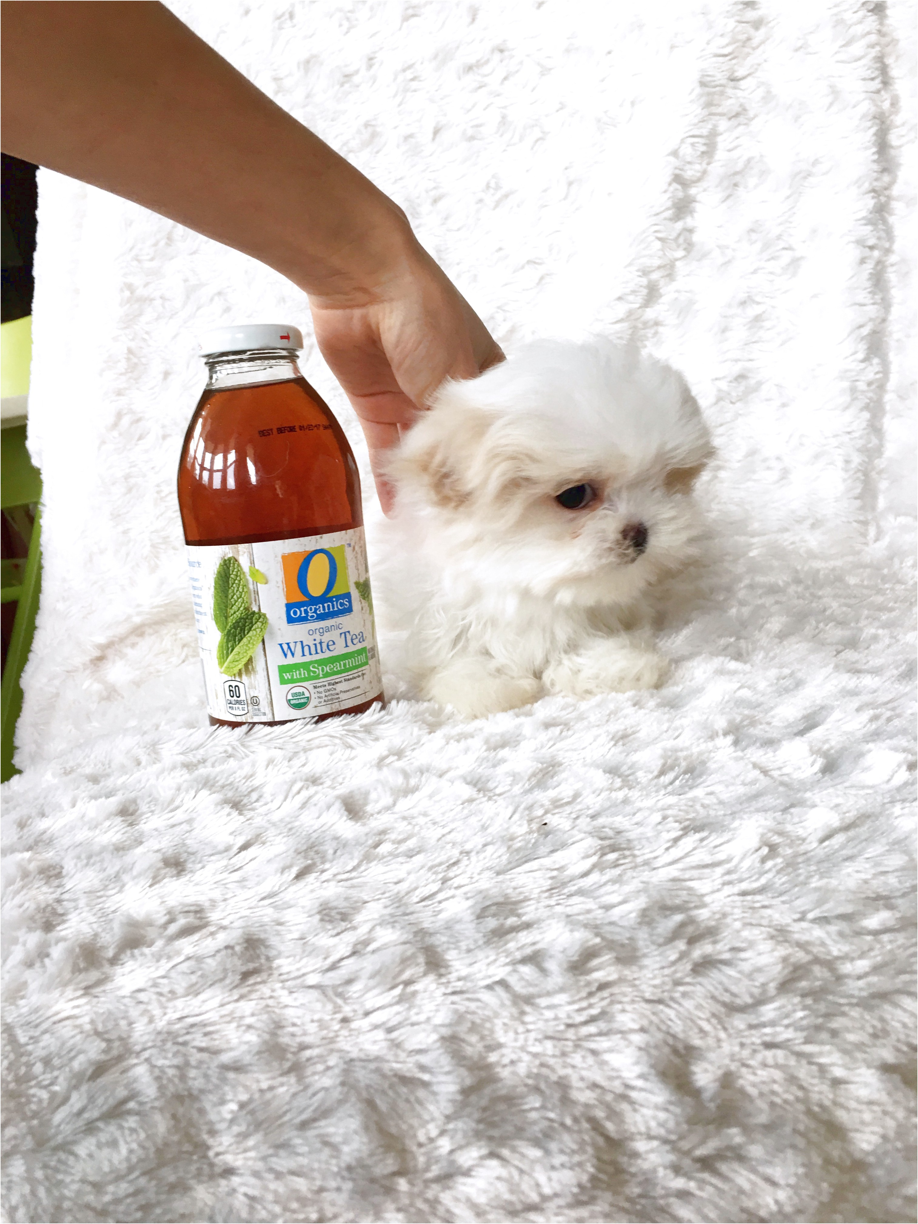 maltese puppies for sale under 500 dollars