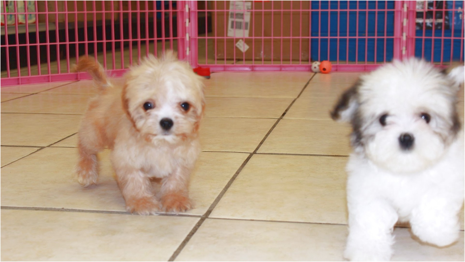 maltese puppies for sale valdosta ga