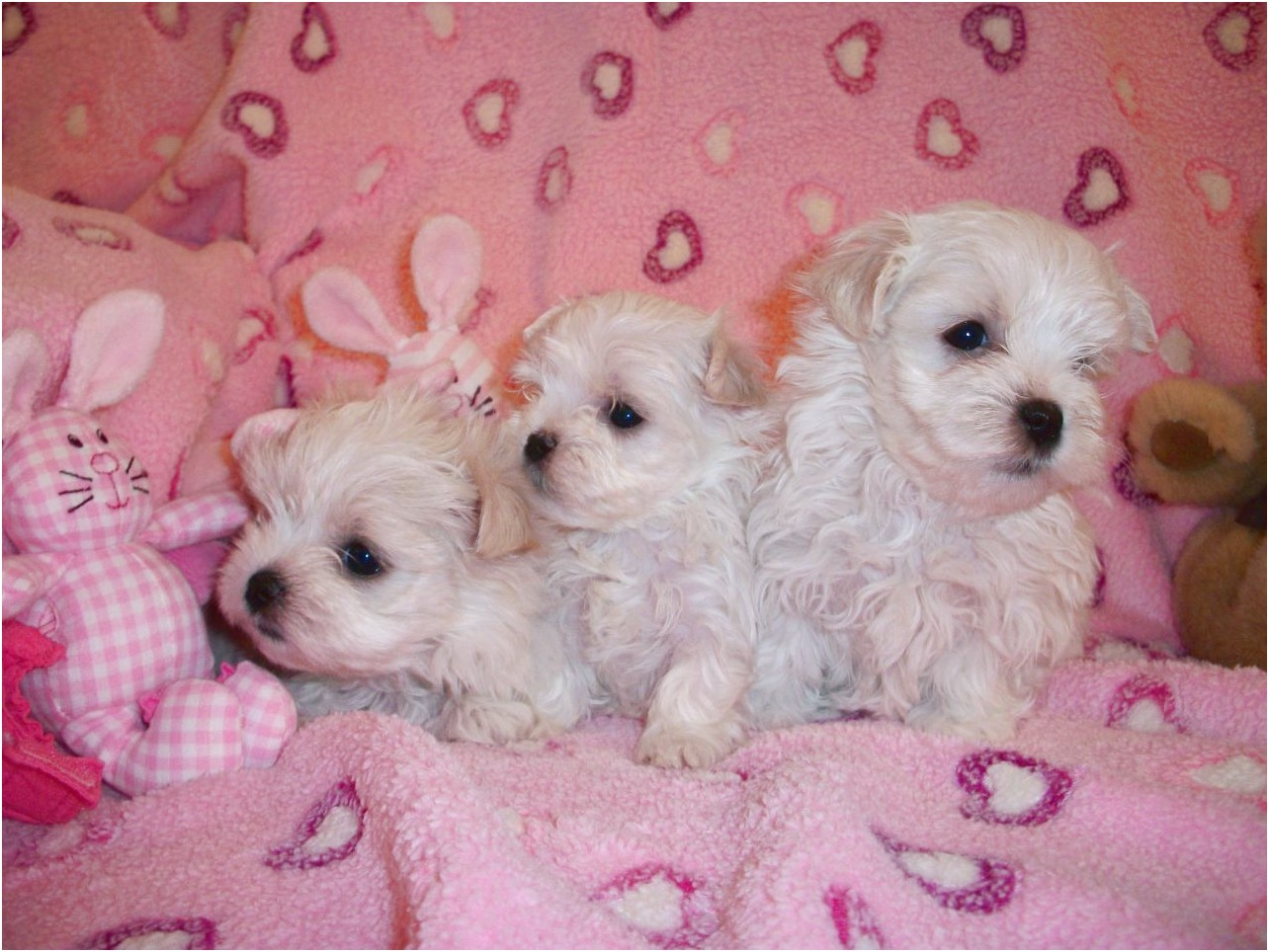 maltese puppies for sale vermont