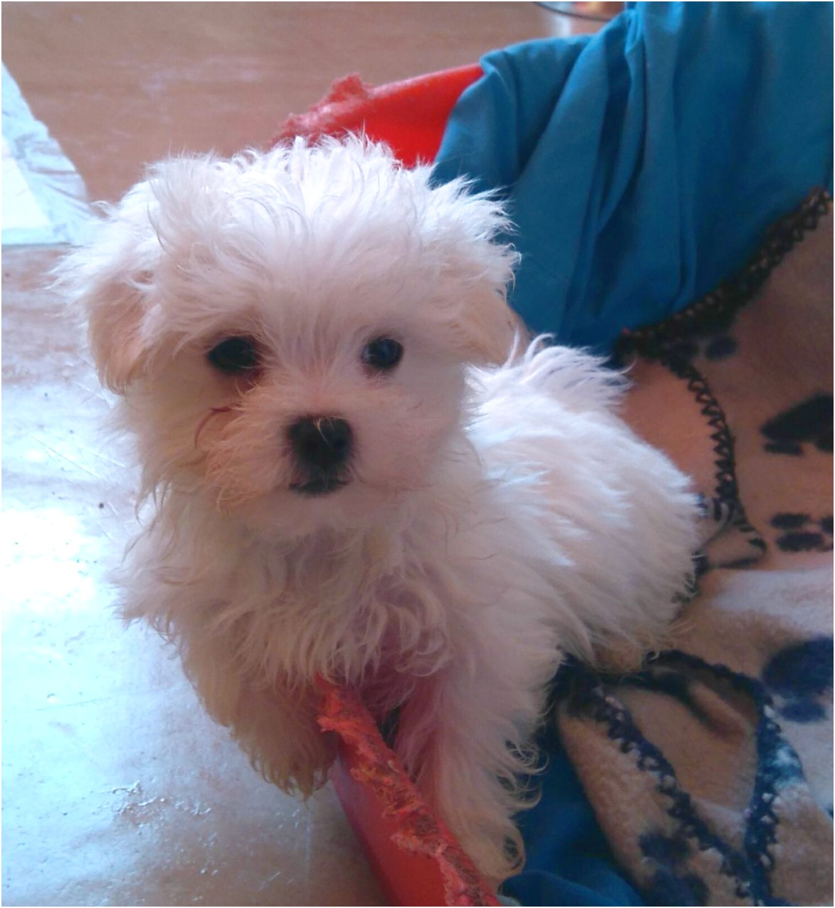 maltese puppies for sale west midlands
