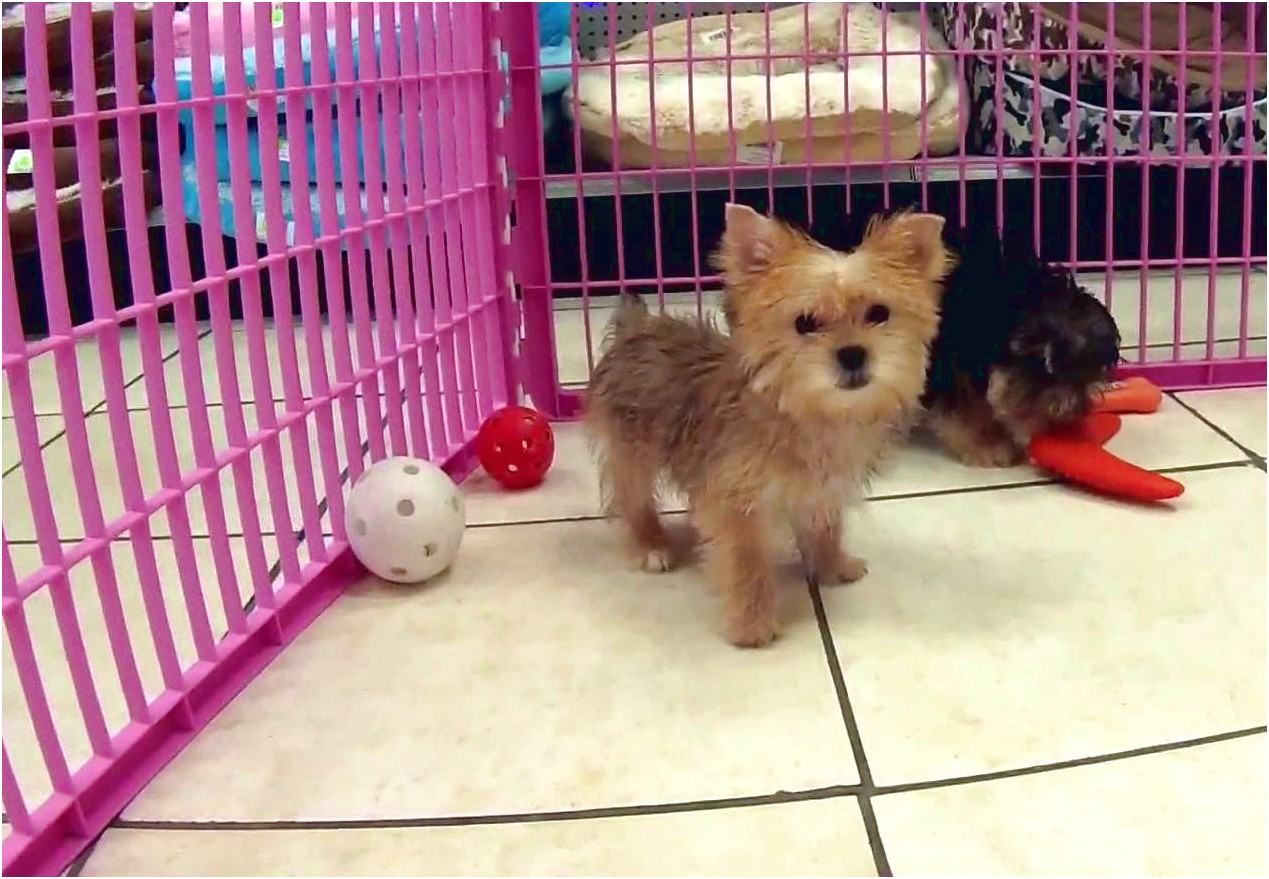 maltese puppies for sale wisconsin
