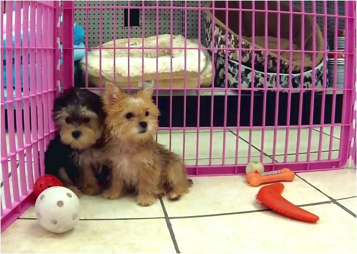 maltese puppies for sale york pa