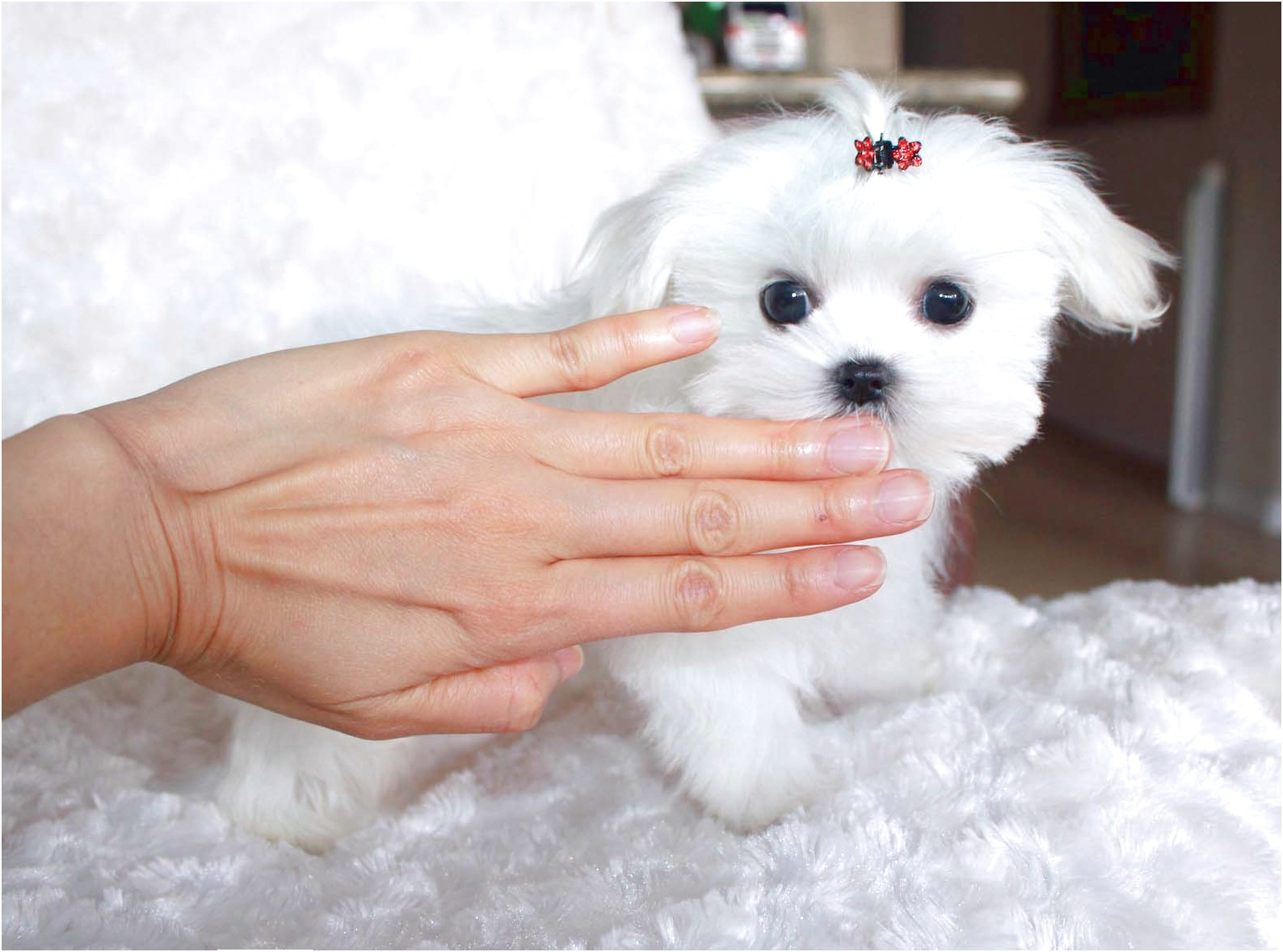 maltese puppies for sale york