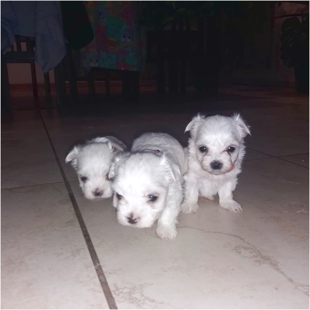 maltese puppies for sale yorkshire